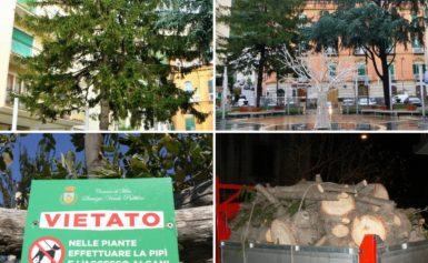 """META – Addio all'albero di natale di piazza Vittorio Veneto a Meta Abbattuto nella notte l'abete rosso Il WWF: """"un delitto premeditato da tempo"""""""